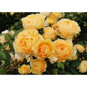 Роза Английская кустовая Грэхам Томас