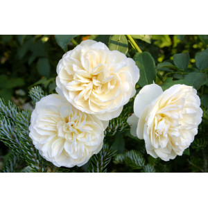 Роза Английская кустовая Линфилд Энджел