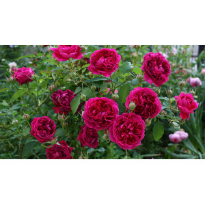 Роза Английская кустовая Вильям Шекспир
