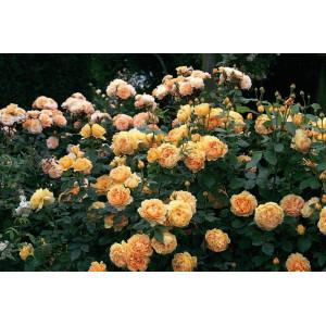Роза английская кустовая Голден Селебрейшн