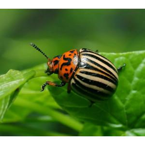 Колорадский жук: ТОП трех действительно работающих препаратов