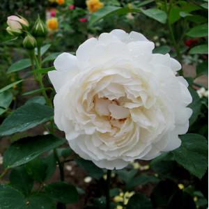 Роза английская кустовая Винчестер Кафедрал