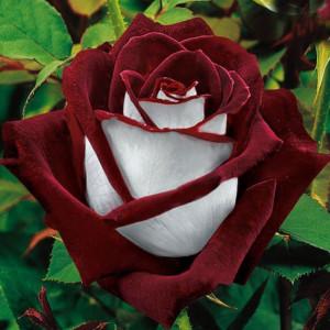 Роза чайно гибридная Осирия в горшке