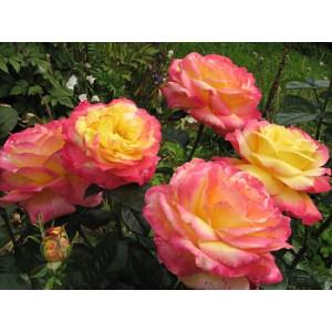 Роза чайно гибридная Пуллман Ориент Экспресс в горшке