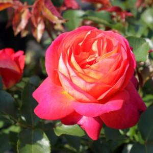 Роза флорибунда Мидсаммер в горшке