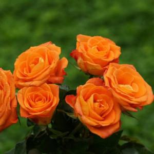 Роза патио спрей Оранж Беби в горшке