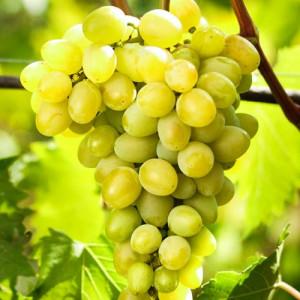 Виноград Августин 2х летний