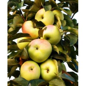 Яблоня колоновидная Медовая