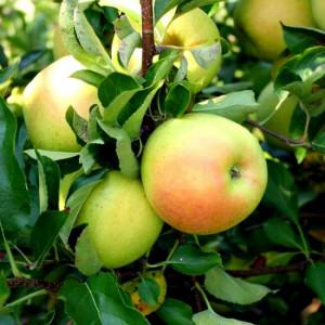 Яблоня низкорослая Подснежник
