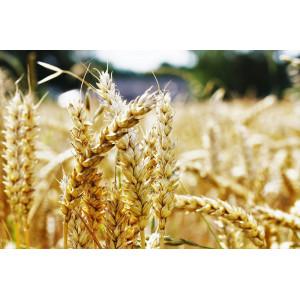 Пшеница Яровая Харьковская 46 0,5 кг
