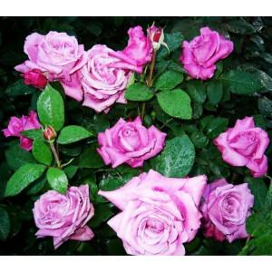 Роза Парковая Кустовая Россион