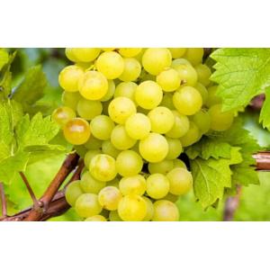 Виноград Кеша 2хлетний
